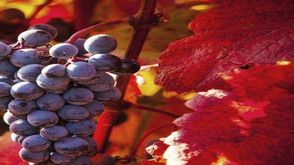 La vigne rouge (Vitis vinifera)