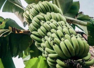 tout-savoir-sur-la-banane