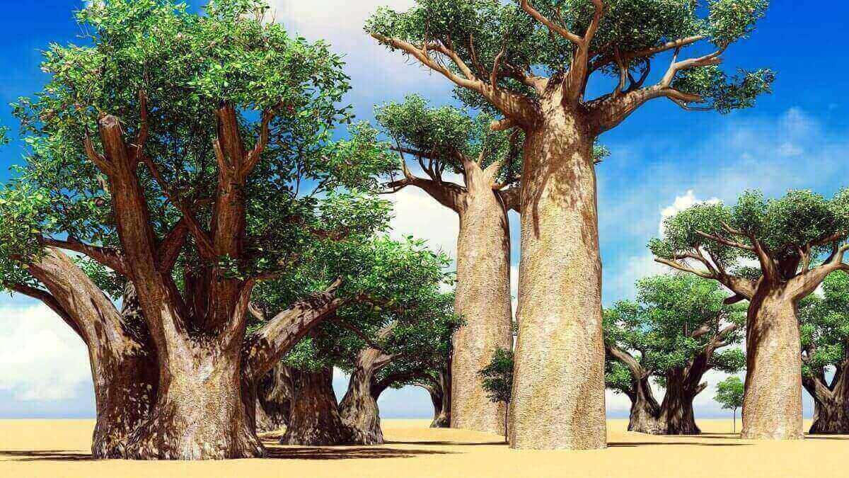 Baobab_Arbre