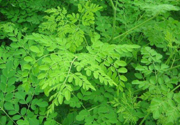 Les bienfaits des feuilles du Moringa