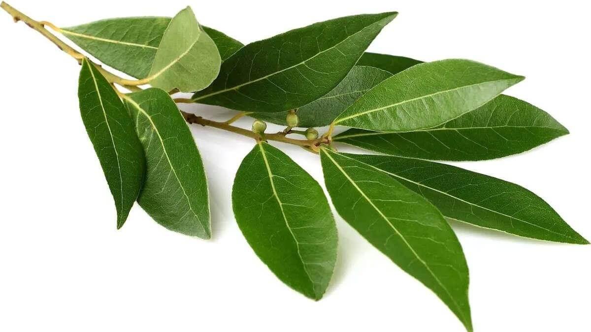 laurier-feuilles-pour-tomber-enceinte-1