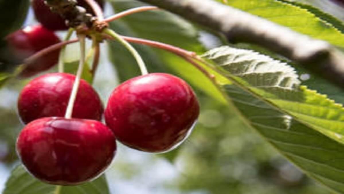 Cerisier nain 'Cherry Baby' - Pot de 3L
