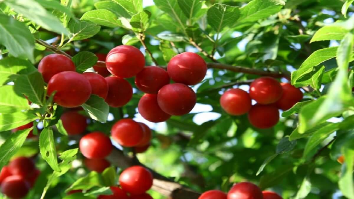Les pruniers rouges
