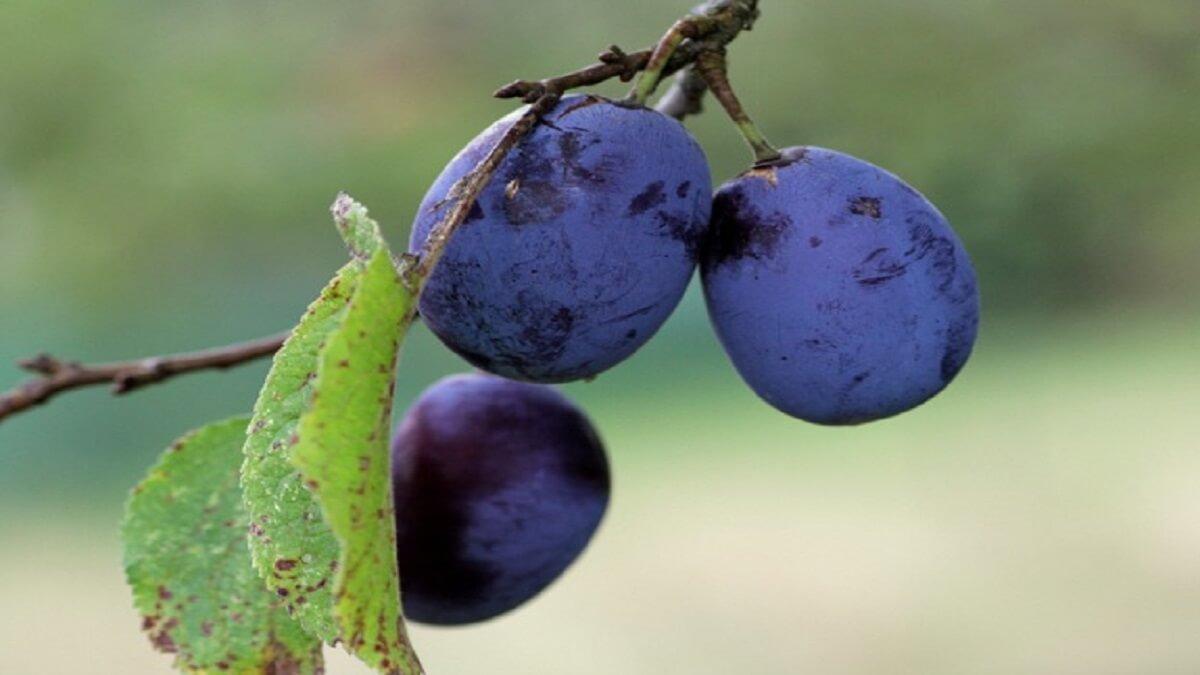 prune-quetsche